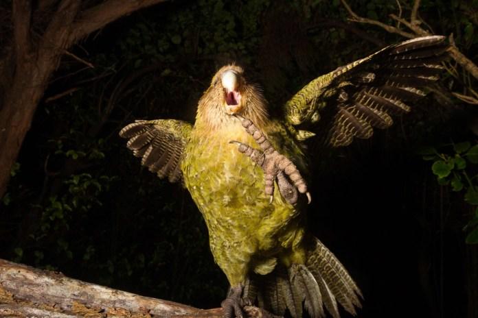 parrots-Kakapos