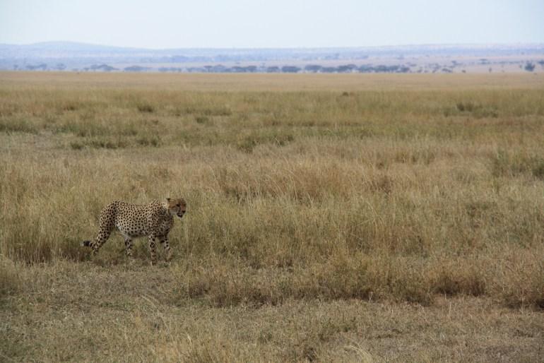 Gepard - najrýchlejší cicavec na svete (Serengeti NP)