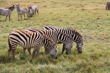 Zebry v Ngorongoro kráteri