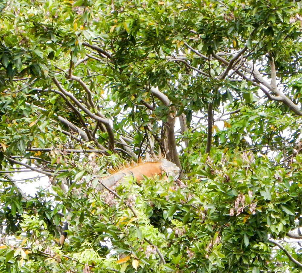 Iguana in tree