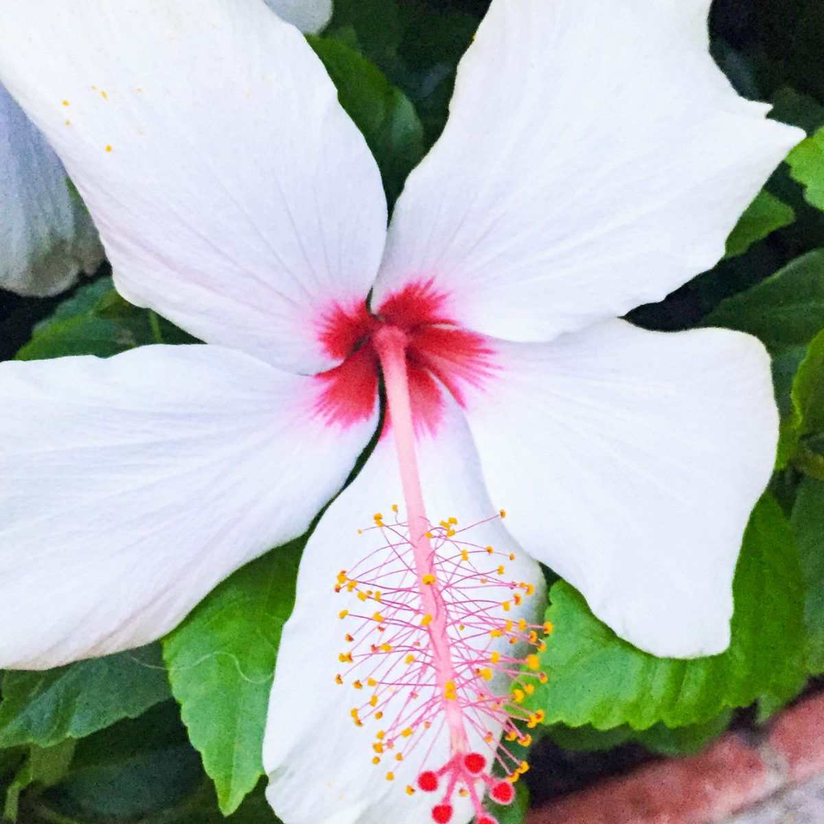 Beautiful hibiscus flowers everywhere we looked at the Pantai Inn grounds