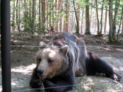 Previously a dancing bear