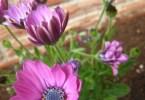 Osteospermum flower