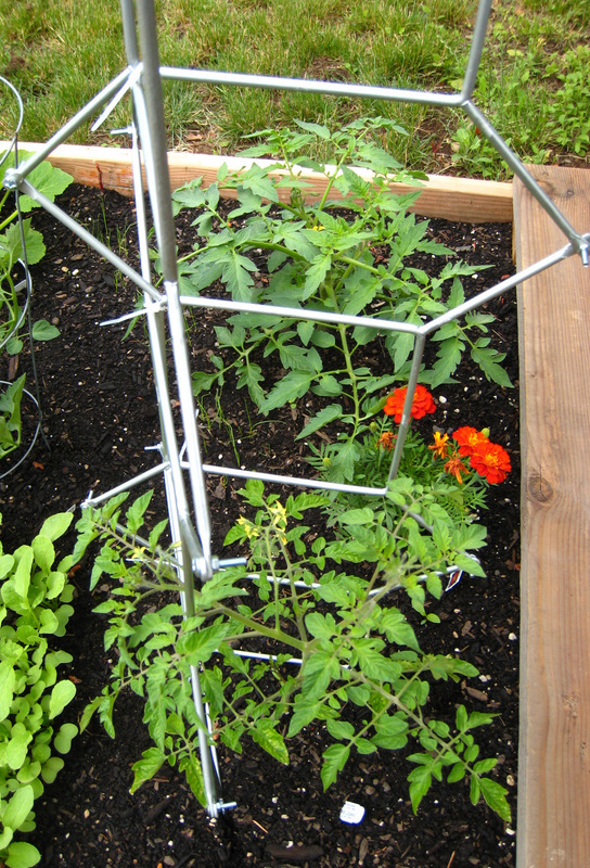 trellis with growing tomato