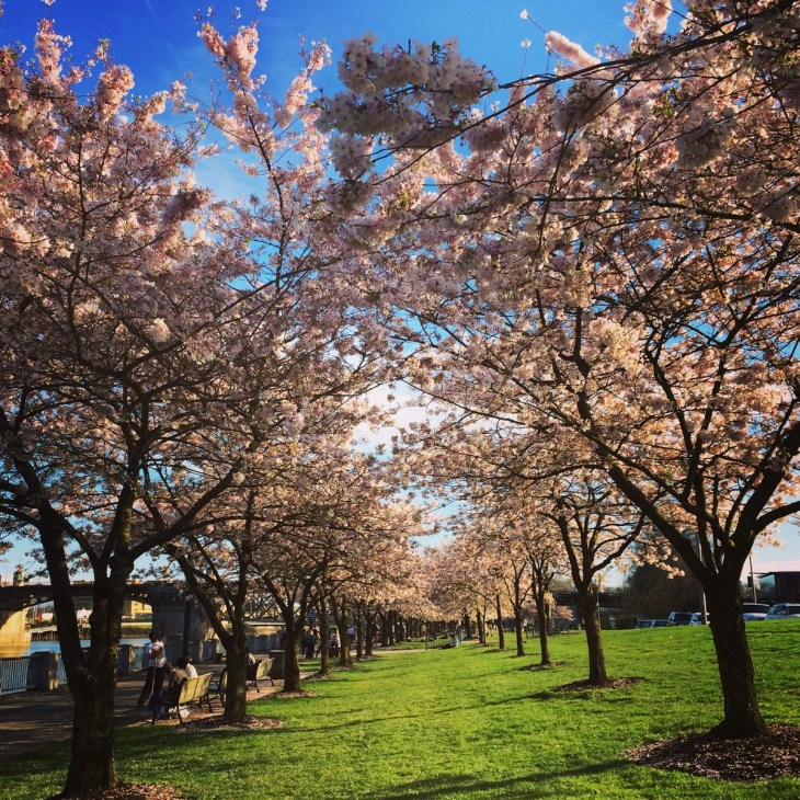 cherry blossoms in portland oregon at waterfront park