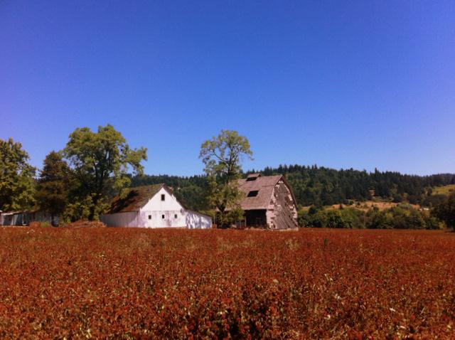 field & barn on NE Calkins Lane on the way to Bergstrom
