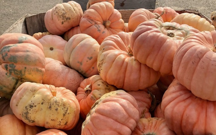 Portland pumpkin patches - pink pumpkins at Topaz Farm