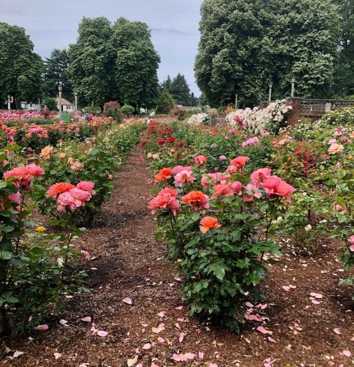 portland roses may june