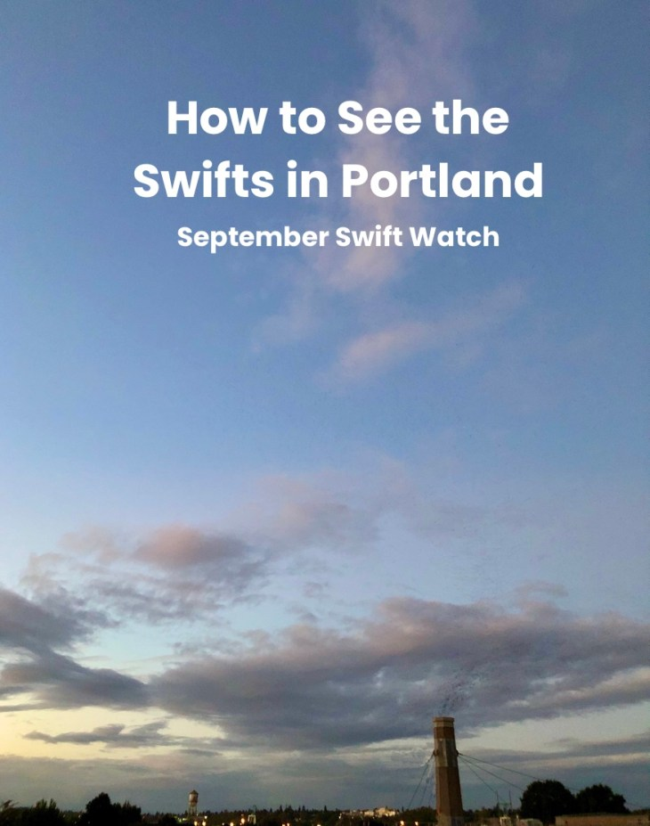 Portland Swifts - how to see the swifts at Chapman elementary in Portland. September swift watch