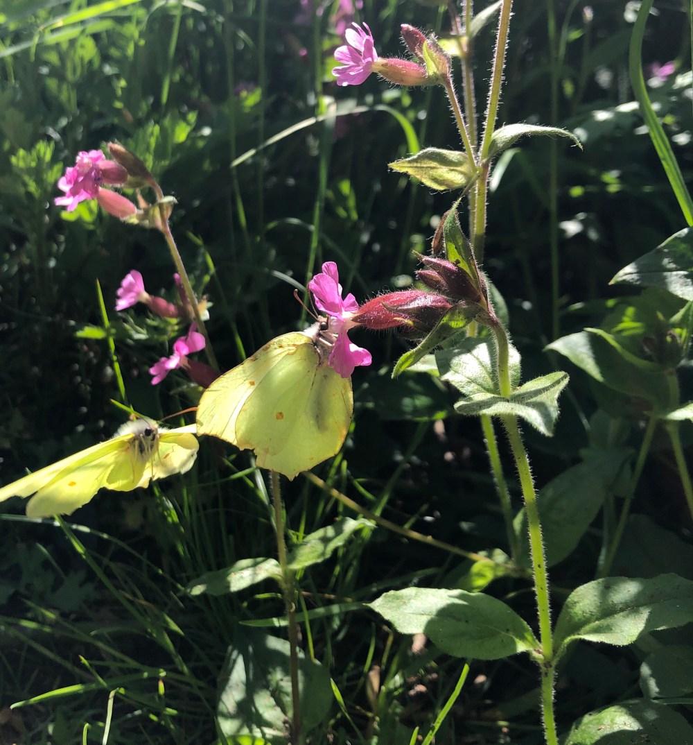 Zwei gelbe Citronenfalter fliegend vor einer pinkfarbenen Blume