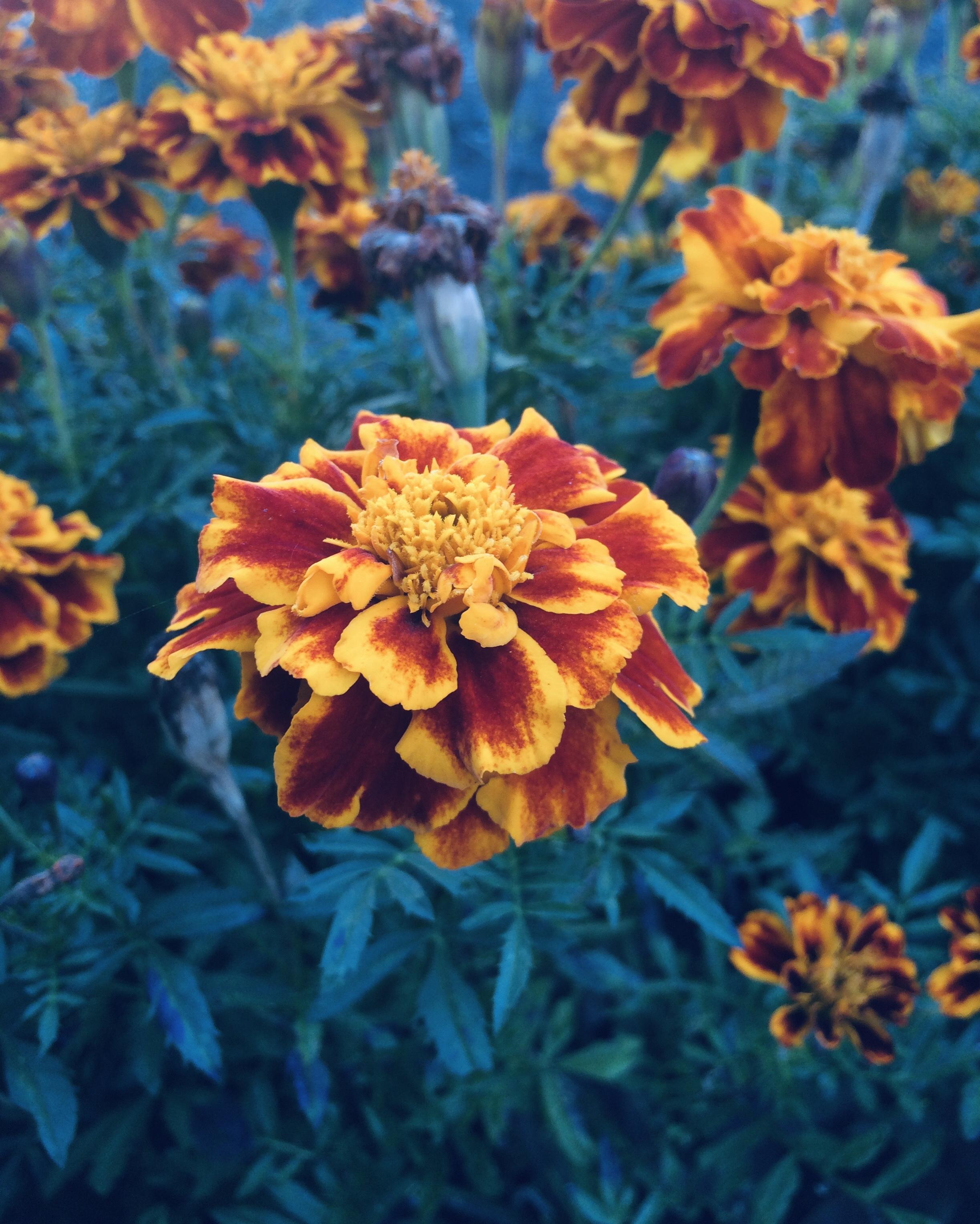Rot- Orangefarbene Studenten Blume