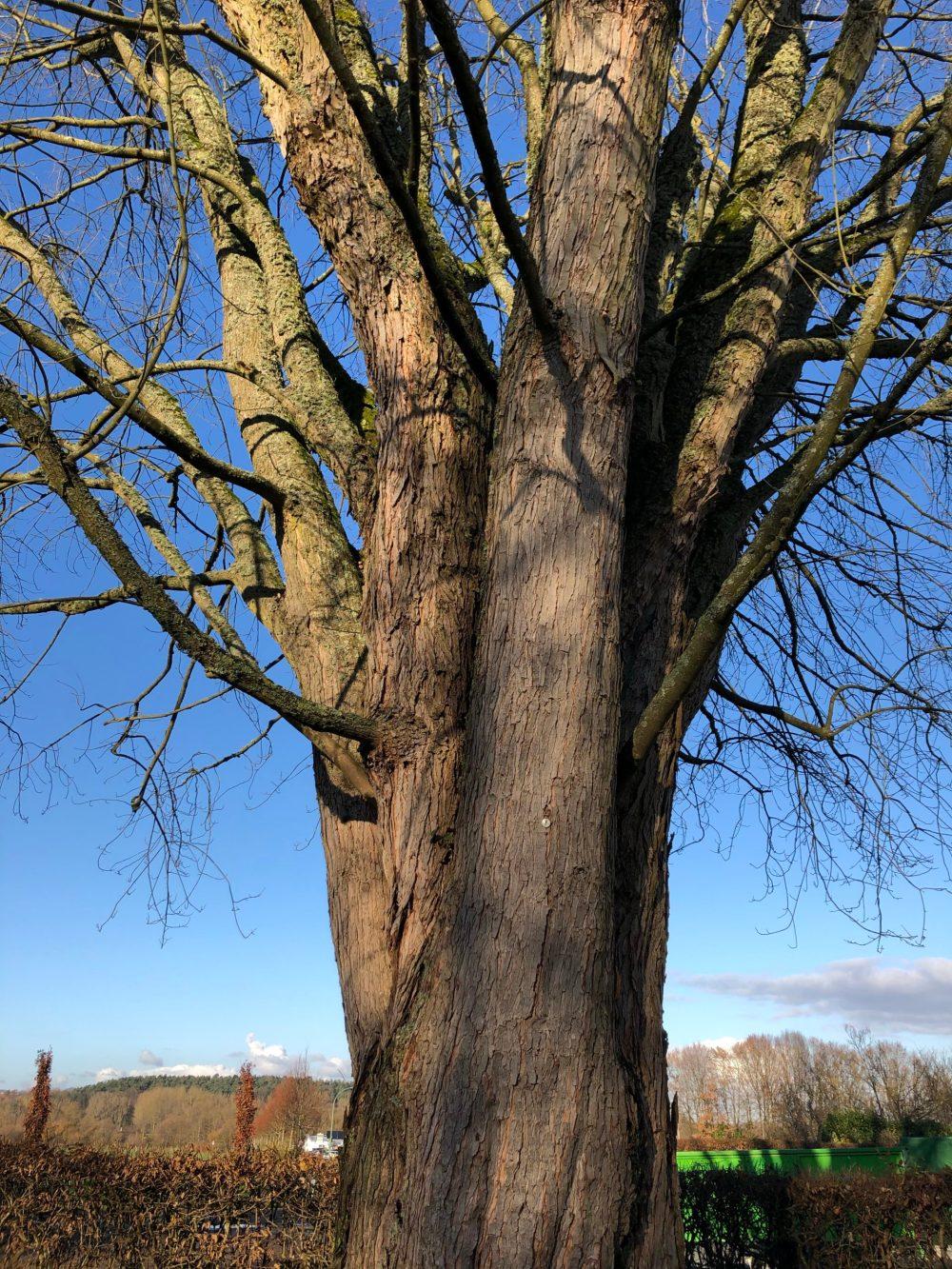 Baumstamm aus dem mehrere Bäume und Äste herauswachsen