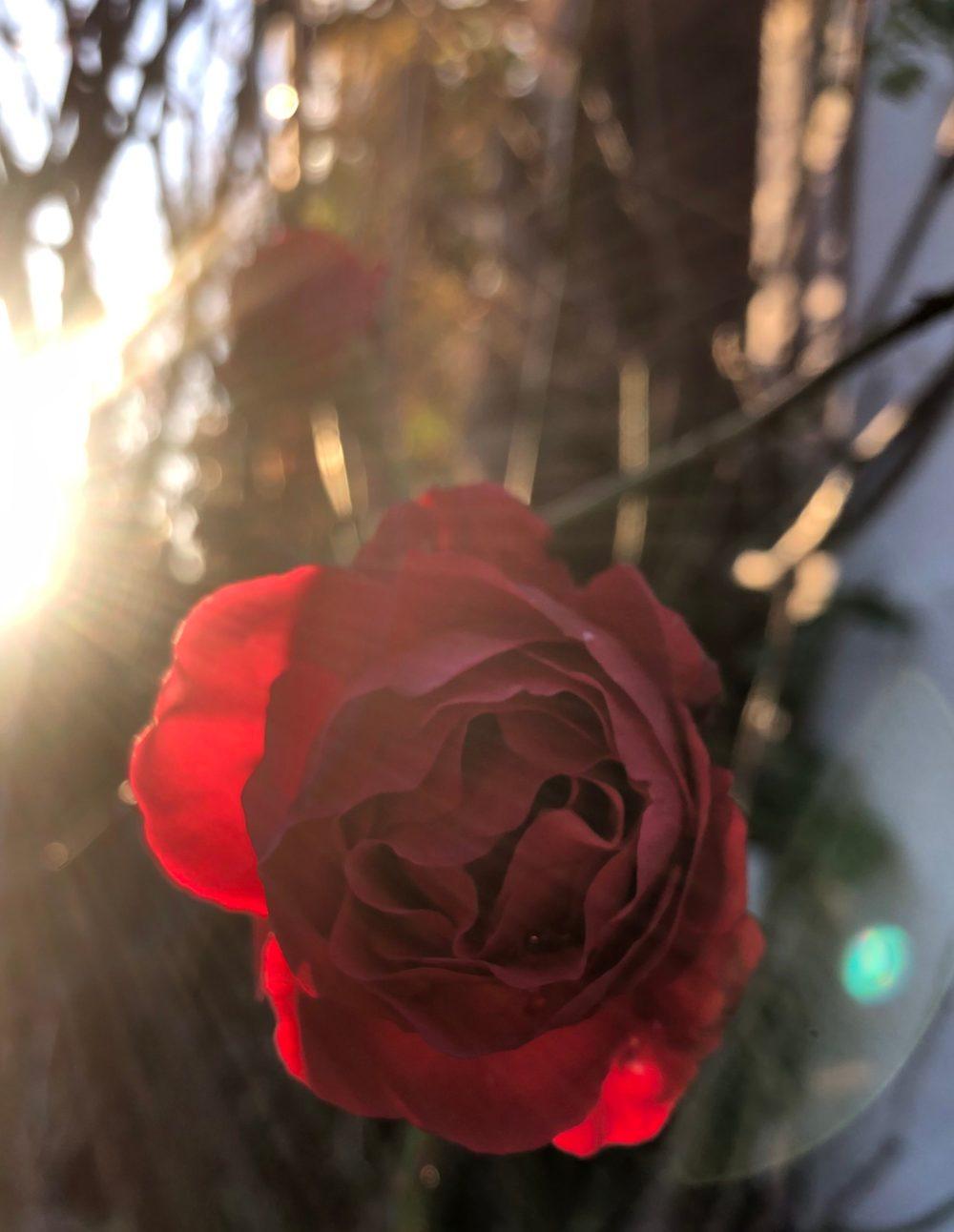 Sonnenstrahlen neben einer roten Rose