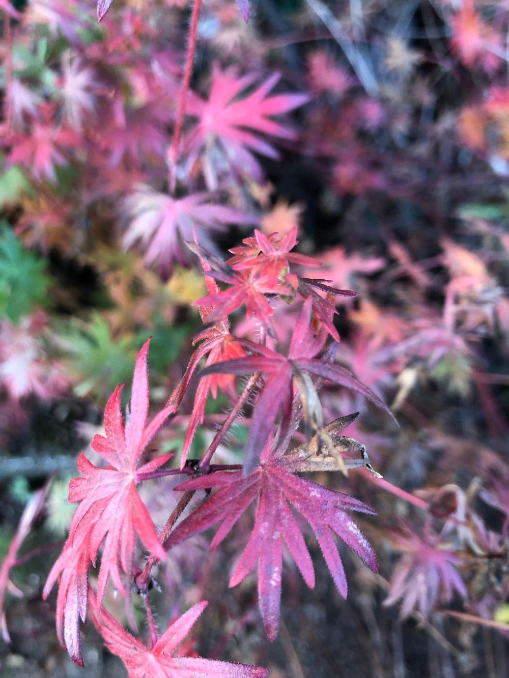 Rosa und lilafarbene Blätter der Geranium Sanguineum im Herbst