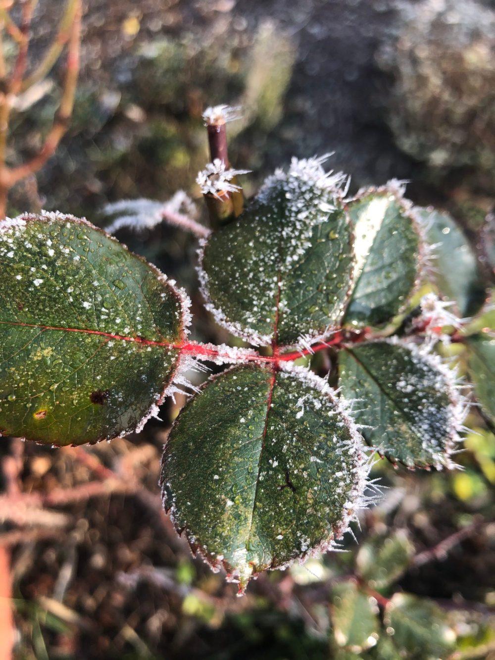 Rosenblätter mit Eis