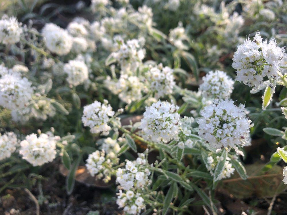 Gefrorene weiße Blüten