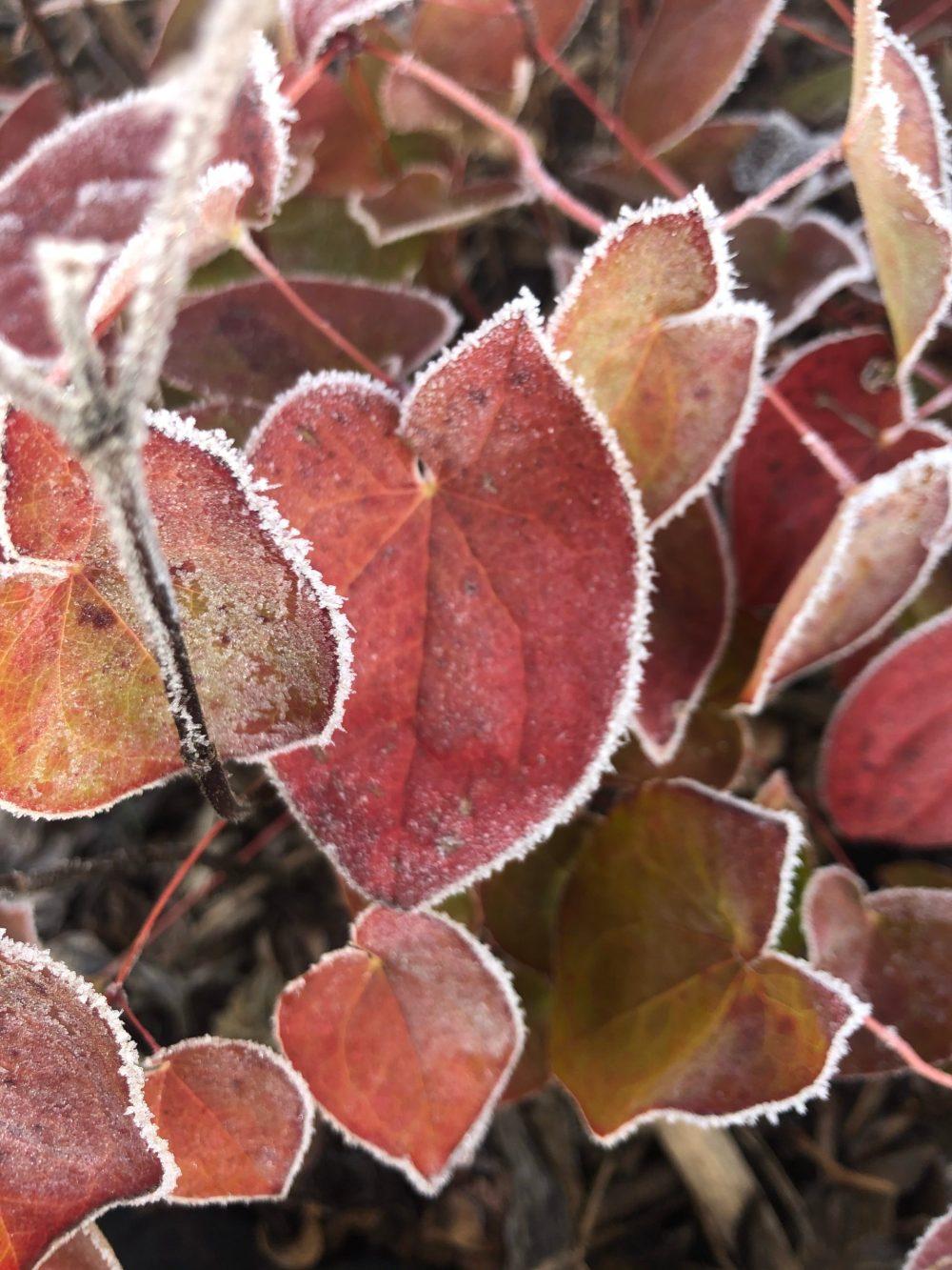 Herzförmige Blätter umrandet mit Eis