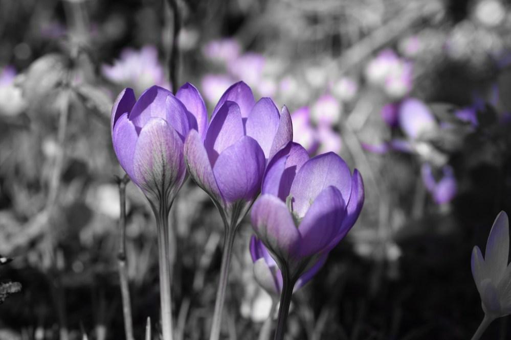 Drei lilafarbene Krokusse