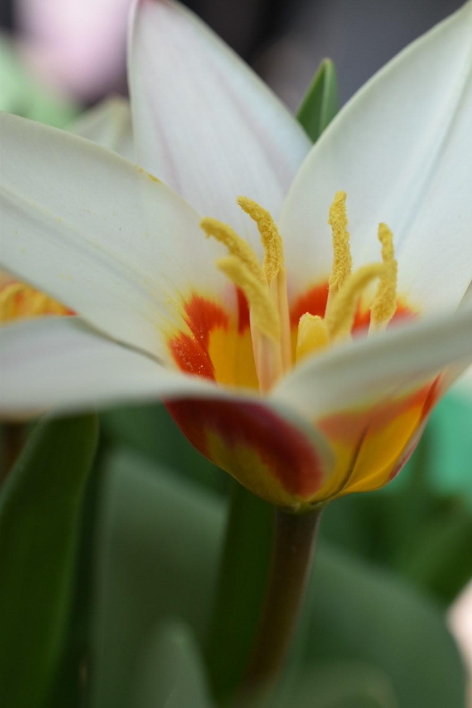 Gelbe Staubblätter ragen aus einer Tulpe heraus