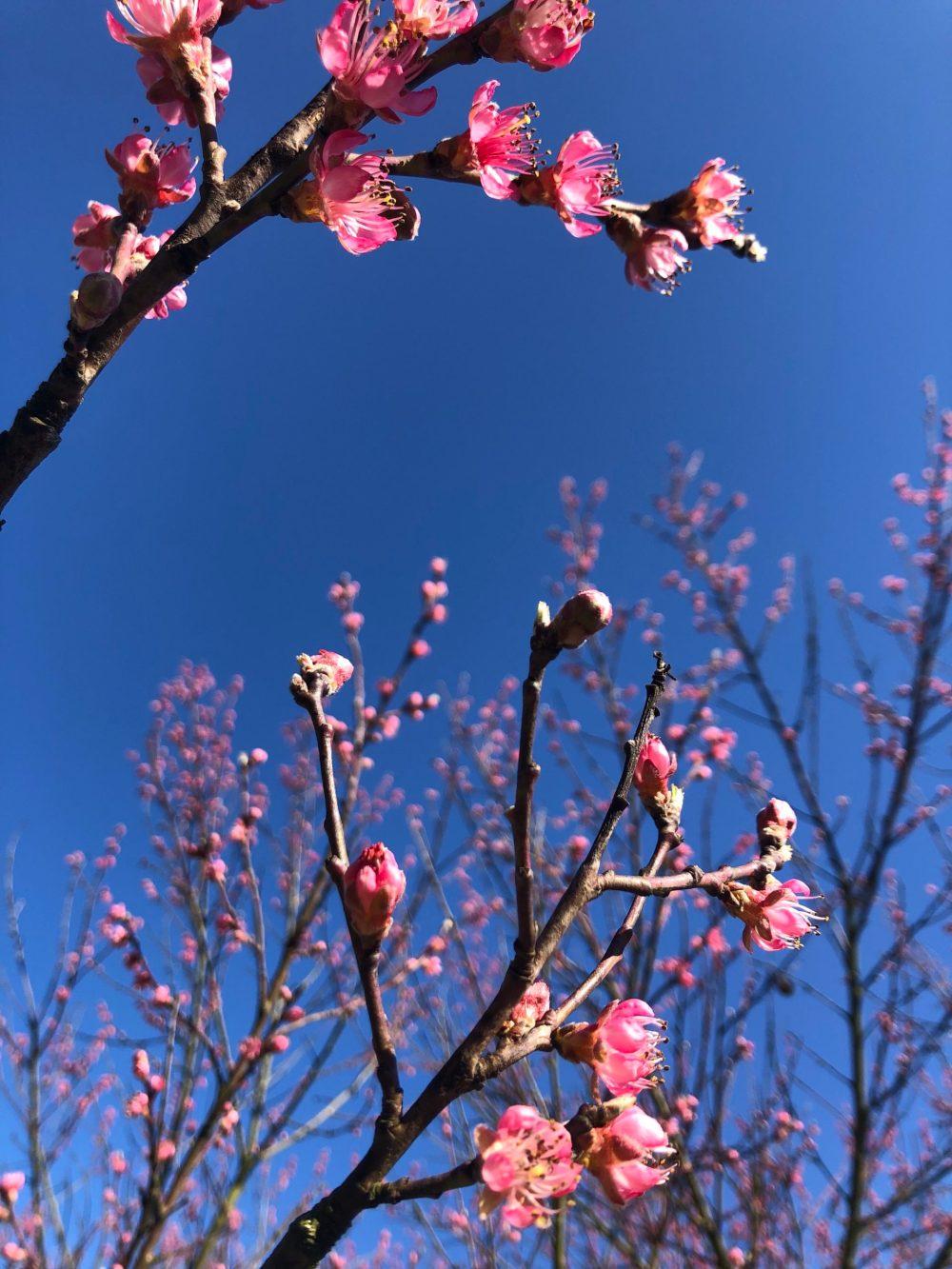 Zwei Zweige eines Pfirsichbaums mit blühenden Blüten