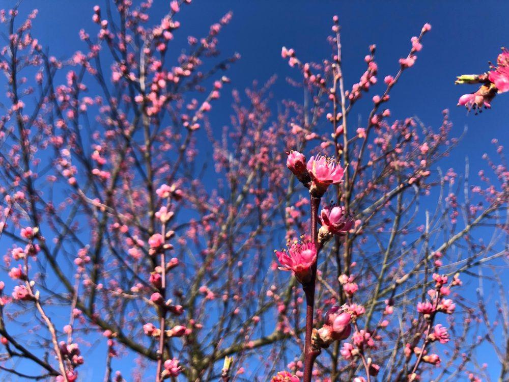 Zahlreiche pinkfarbene Pfirsichblüten unter strahlend blauem Himmel