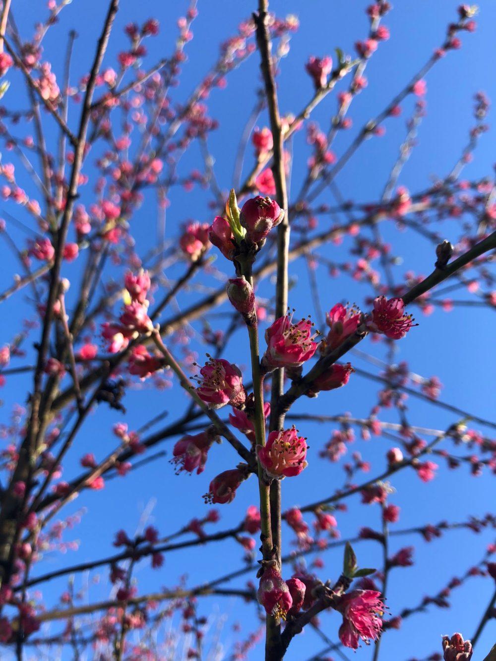 Viele Äste mit blühenden Pfirsichblüten