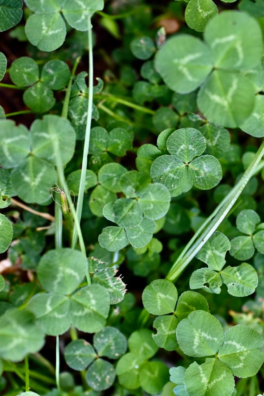 Boden bedeckt mit grünem Klee