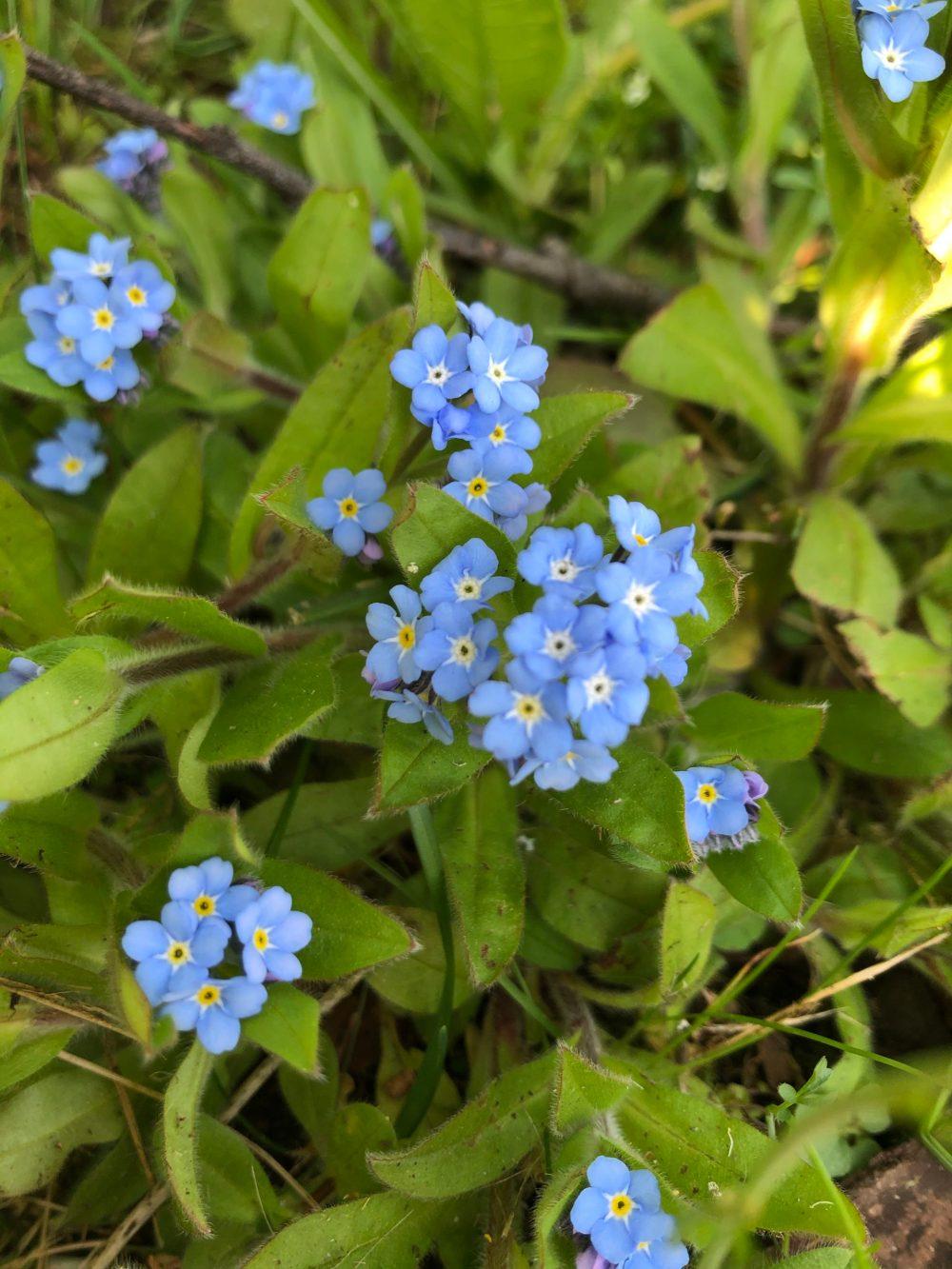 Kornblumenblaue Vergissmeinnicht