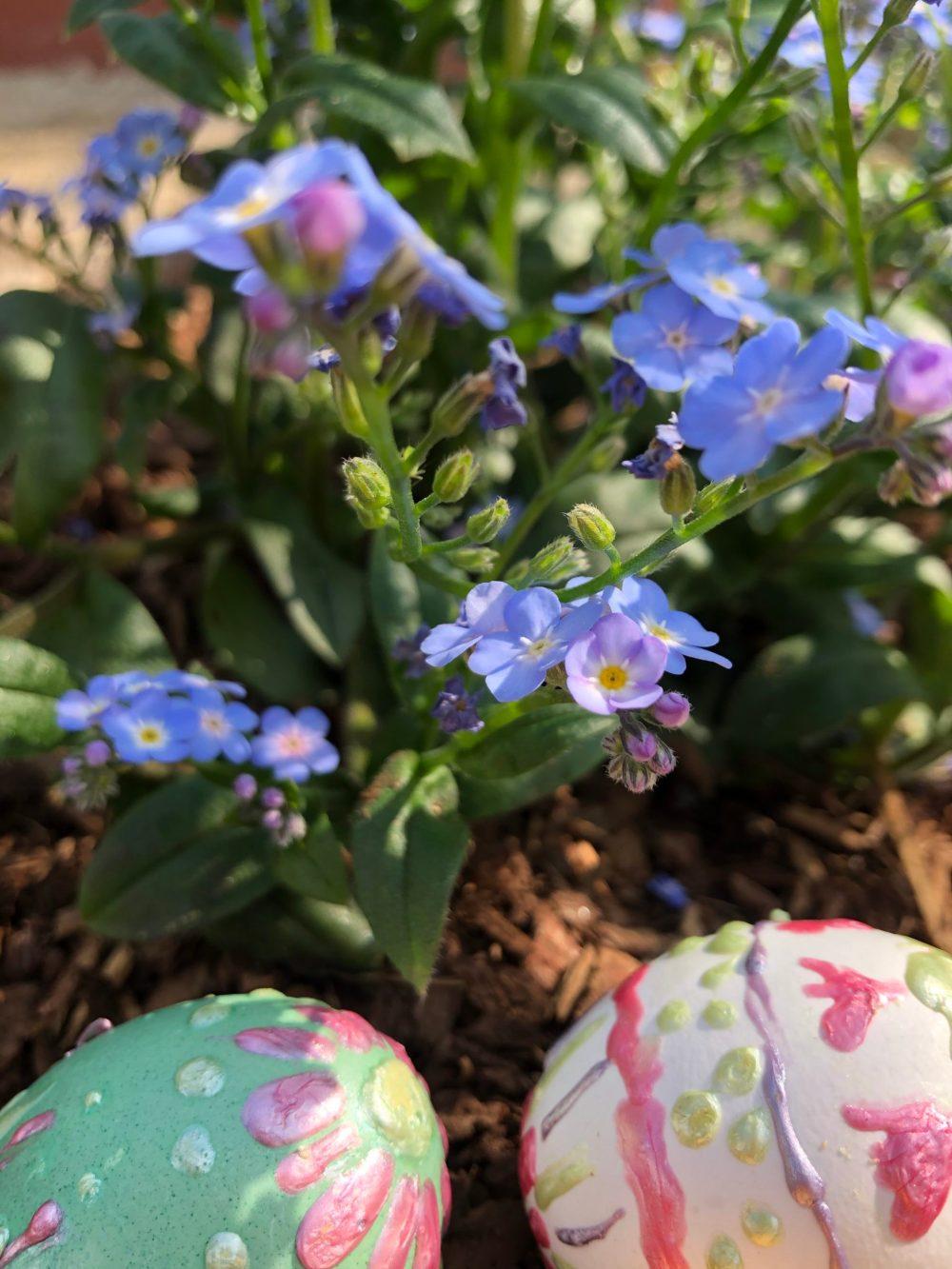 Zwei bemalte Eier liegen unter den Vergissmeinnicht Blumen