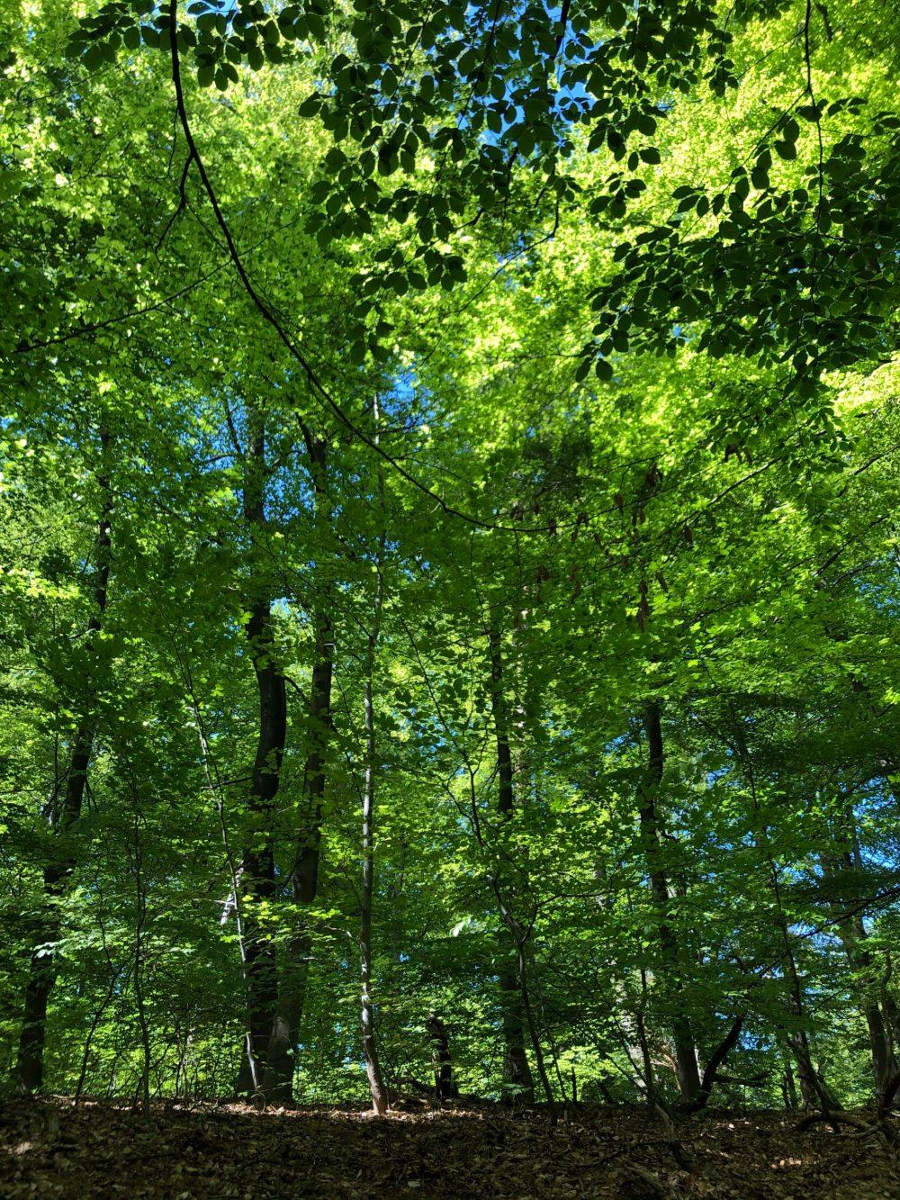 Laubbäume mit kräftig grünen Blättern