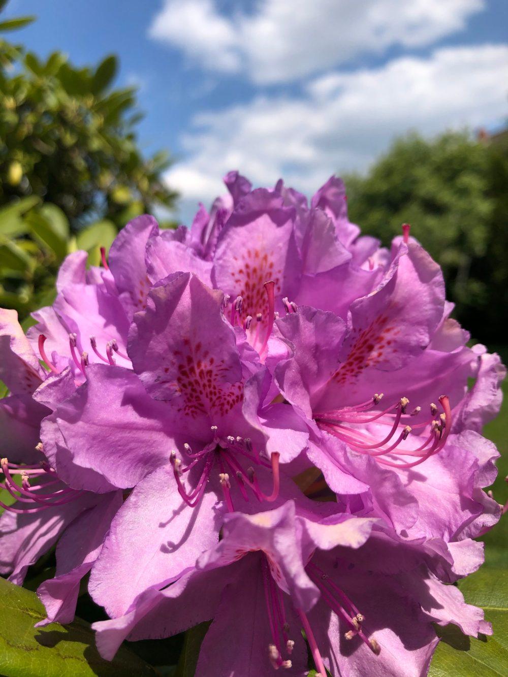 Große Blüten des Rhododendrons