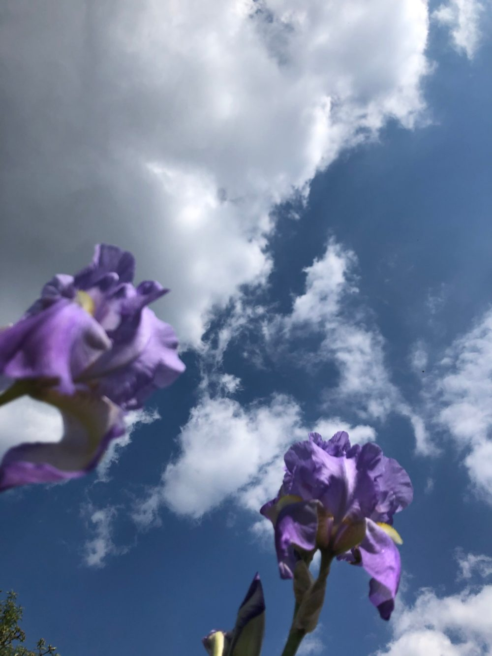 Zwei Schwertlilien unter dem bewölkten Himmel