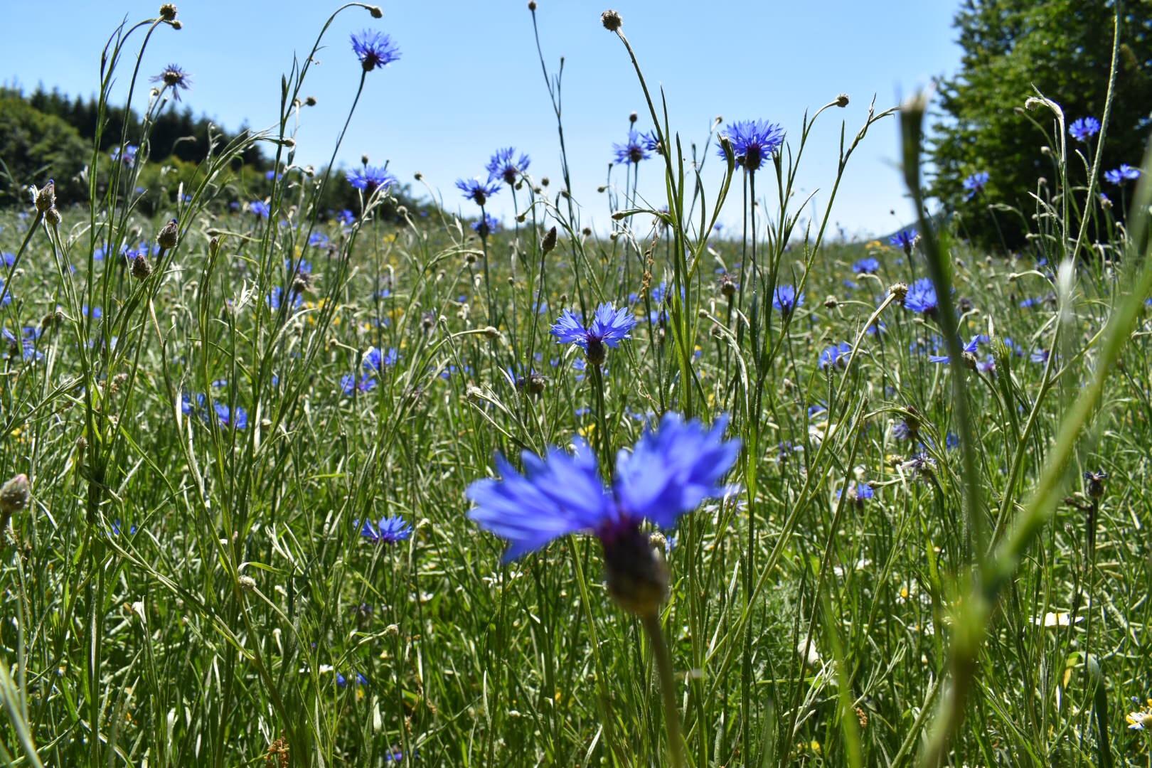 Blaue Kornblumen im Feld