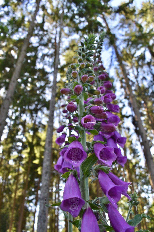Lilafarbene Blüten des Fingerhutes mit Nadelbäumen im Hintergrund
