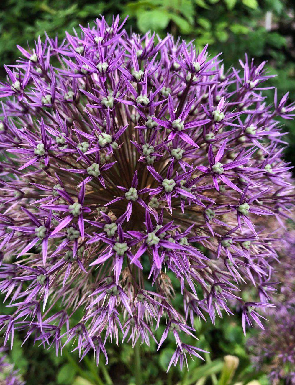 """Lilafarbener Zierlauch """"Allium Globemaster"""" im Rosengarten in Zweibrücken"""