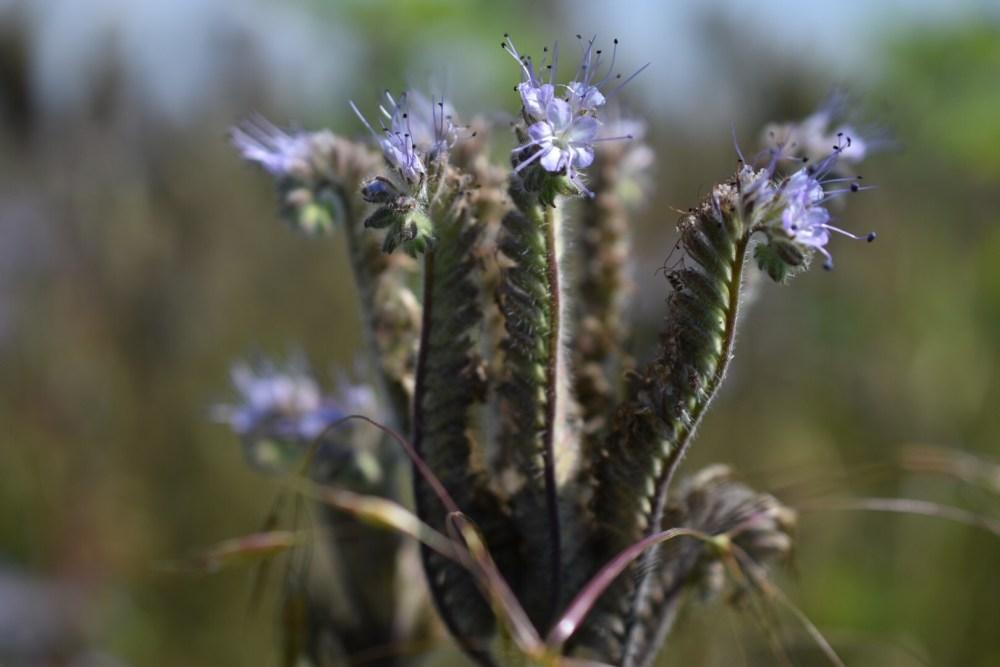 Blühende Phacelia mit der Nahaufnahme aufgenommen