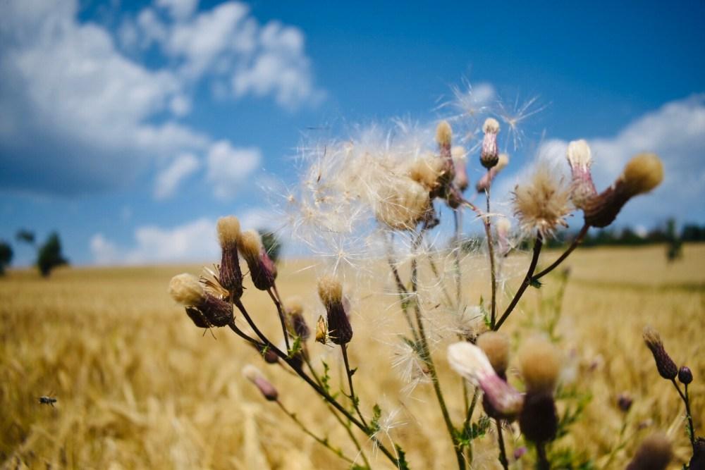Pflanzen vor strahlendem Feld im Hintergrund
