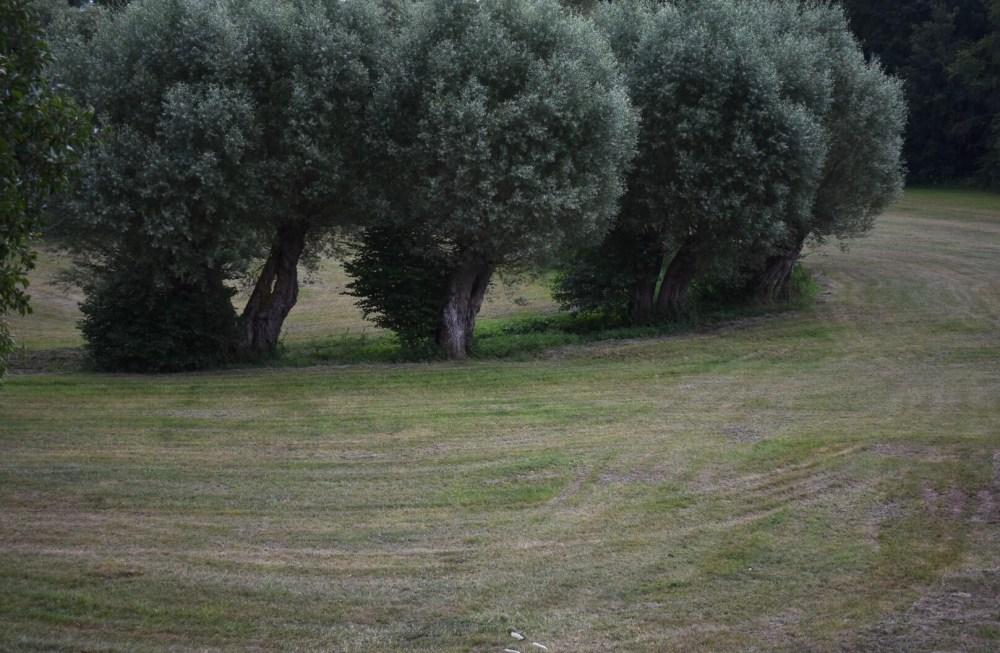 Mehrere Weidenbäume im dunklen Licht