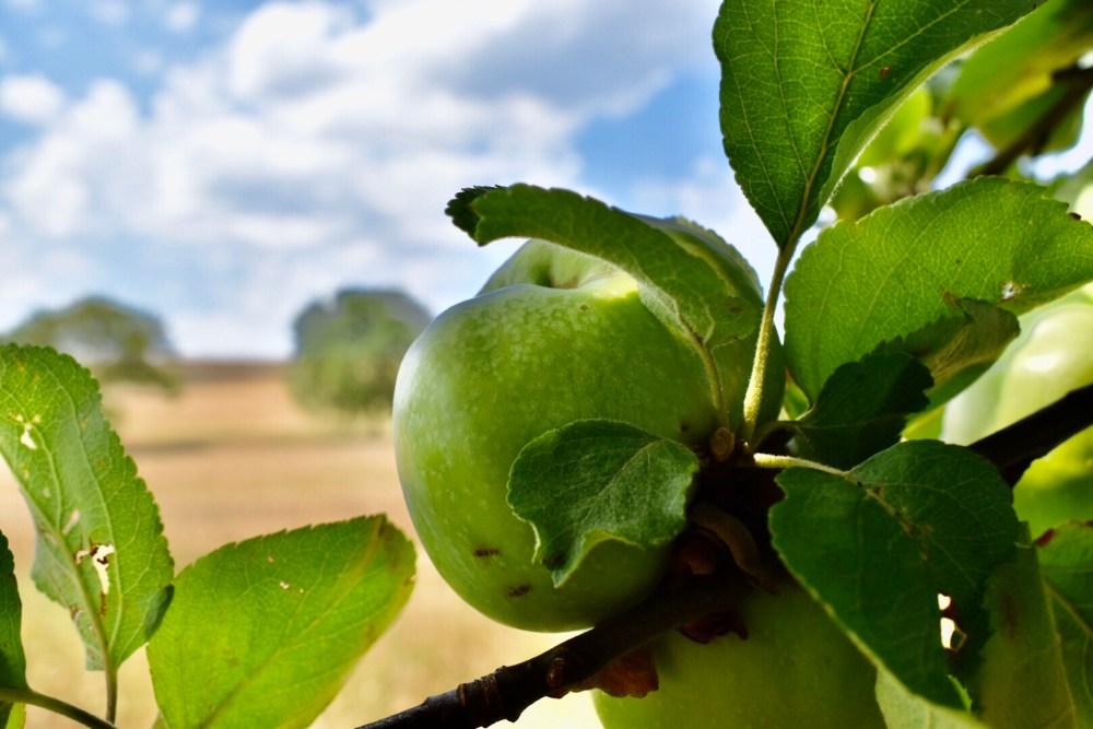 Grüner Apfel vor dem Feld