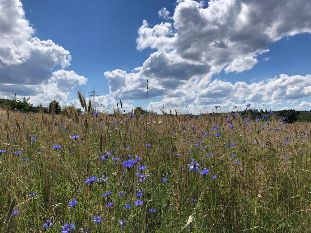 Kornblumen und Getreide unter blauem Himmel mit vielen Wolken
