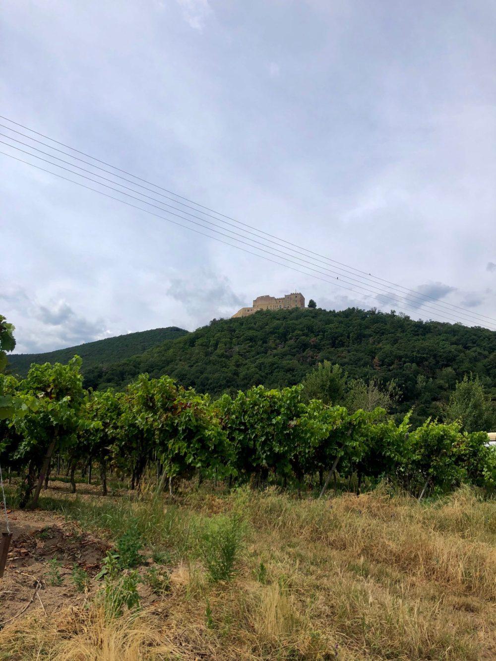 Blick über die Weintrauben Sträucher auf den Berg