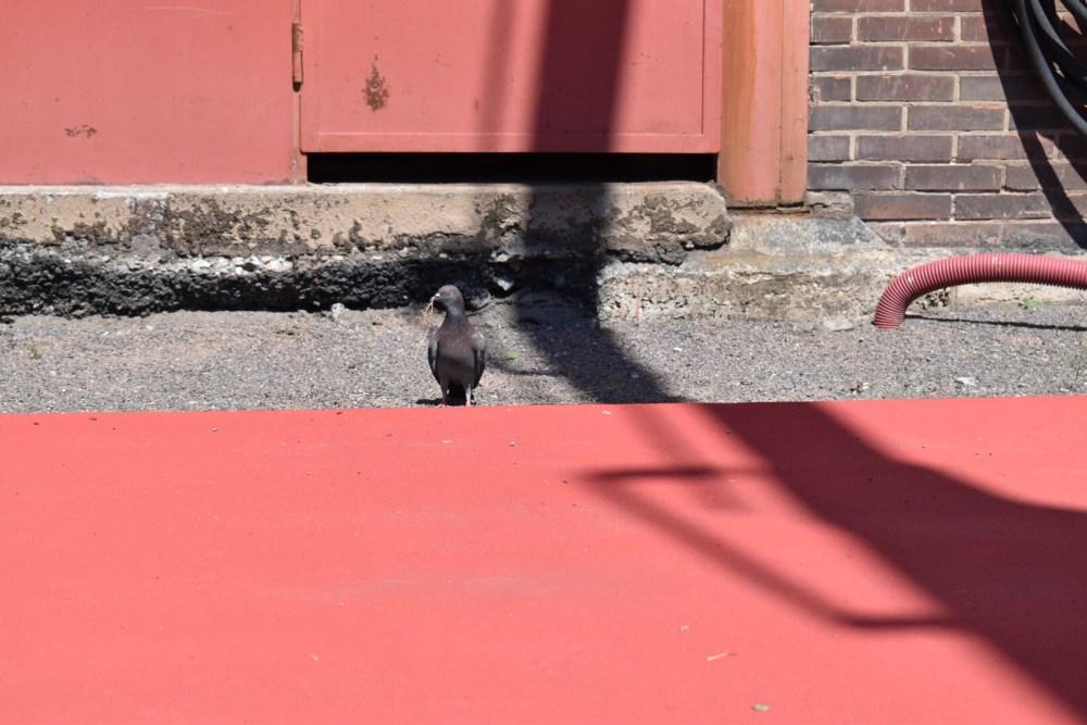 Taube hinter der roten Fläche