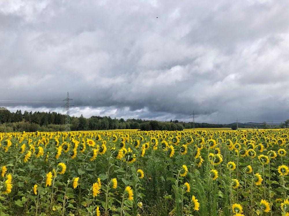 Grauer dunkler Himmel über dem gelb strahlendem Feld