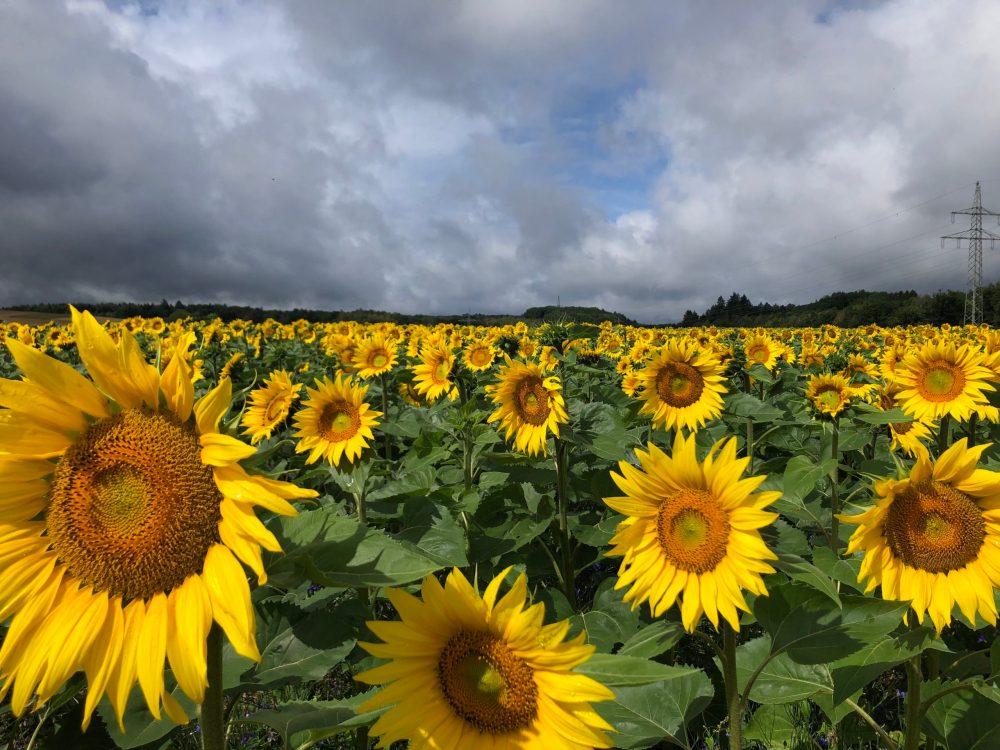 Strahlende Sonnenblumen unter dunklen Gewitterwolken