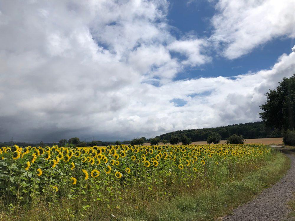 Gelbe Korbblütler von hinten
