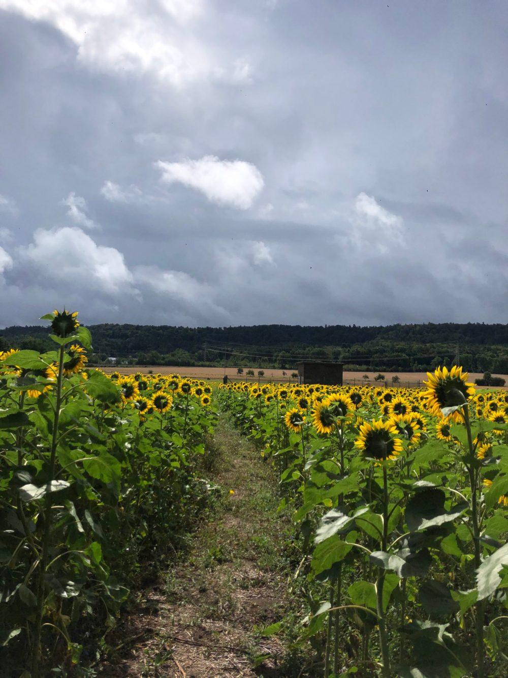 Weg durchs Sonnenblumenfeld