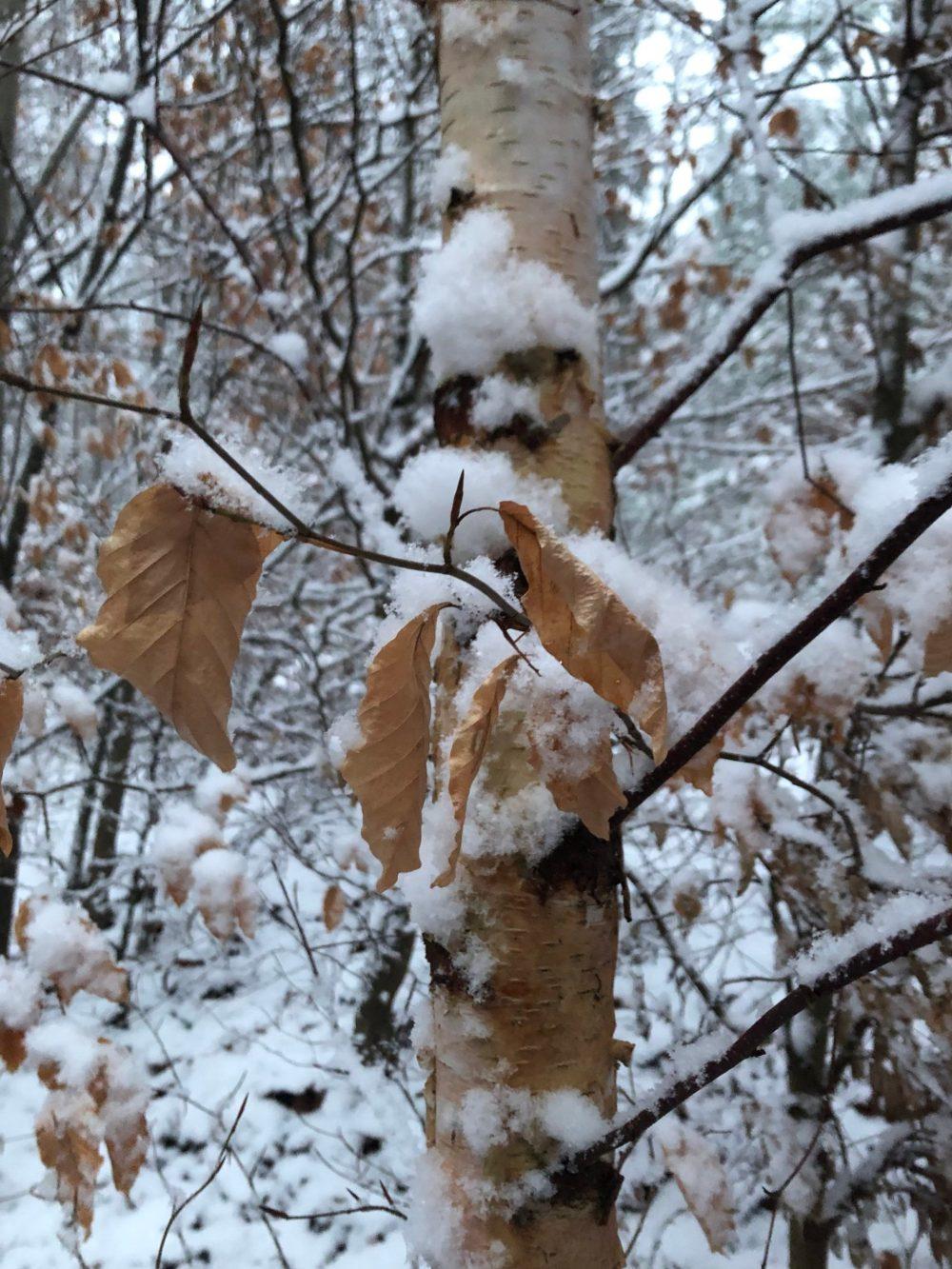 Blätter und Äste eines Baumes mit Schnee bedeckt