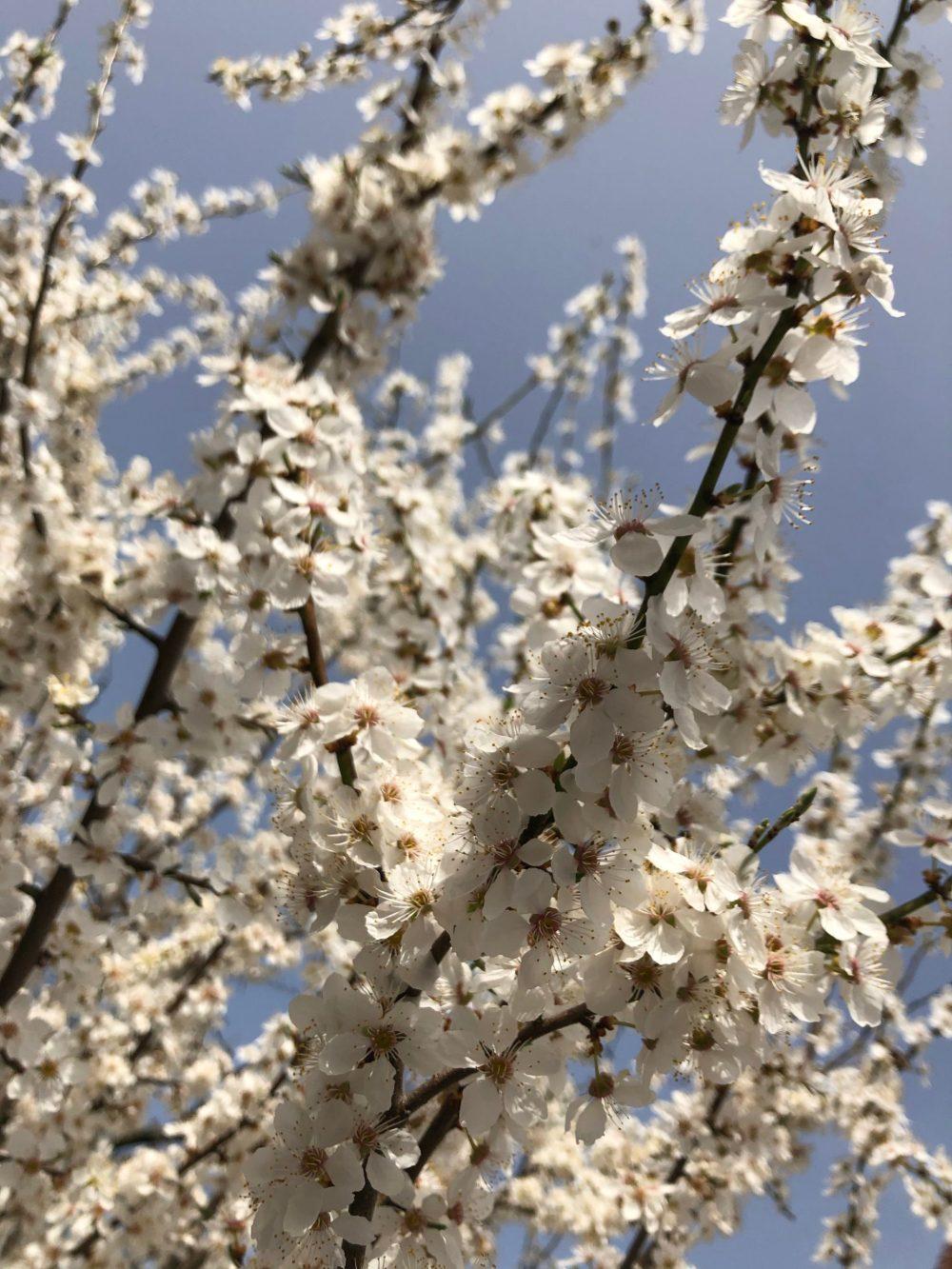 Viele Zweige mit weißen Blüten