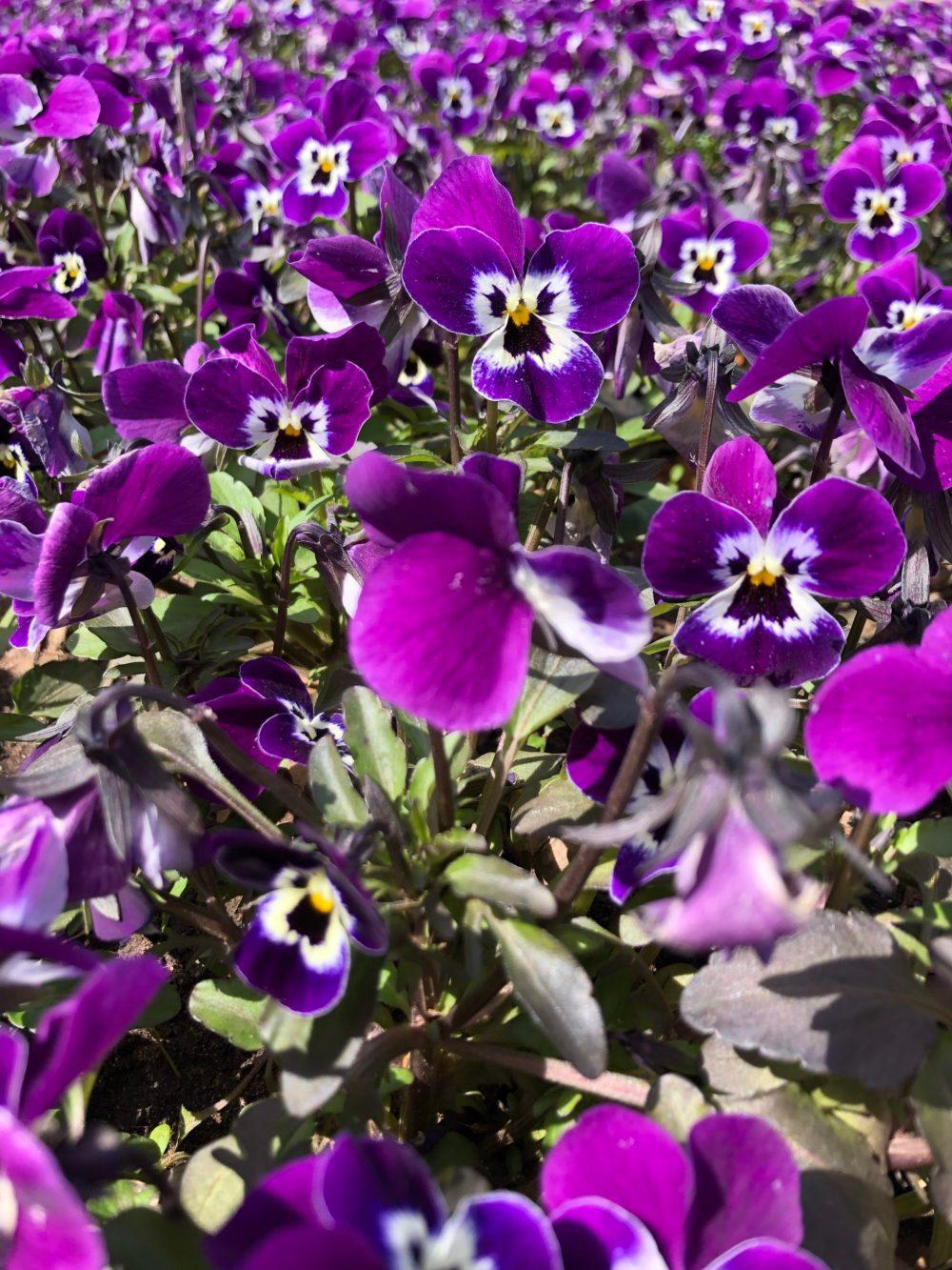 Hunderte lilafarbene Stiefmütterchen im Blumengarten in Bexbach im Frühling