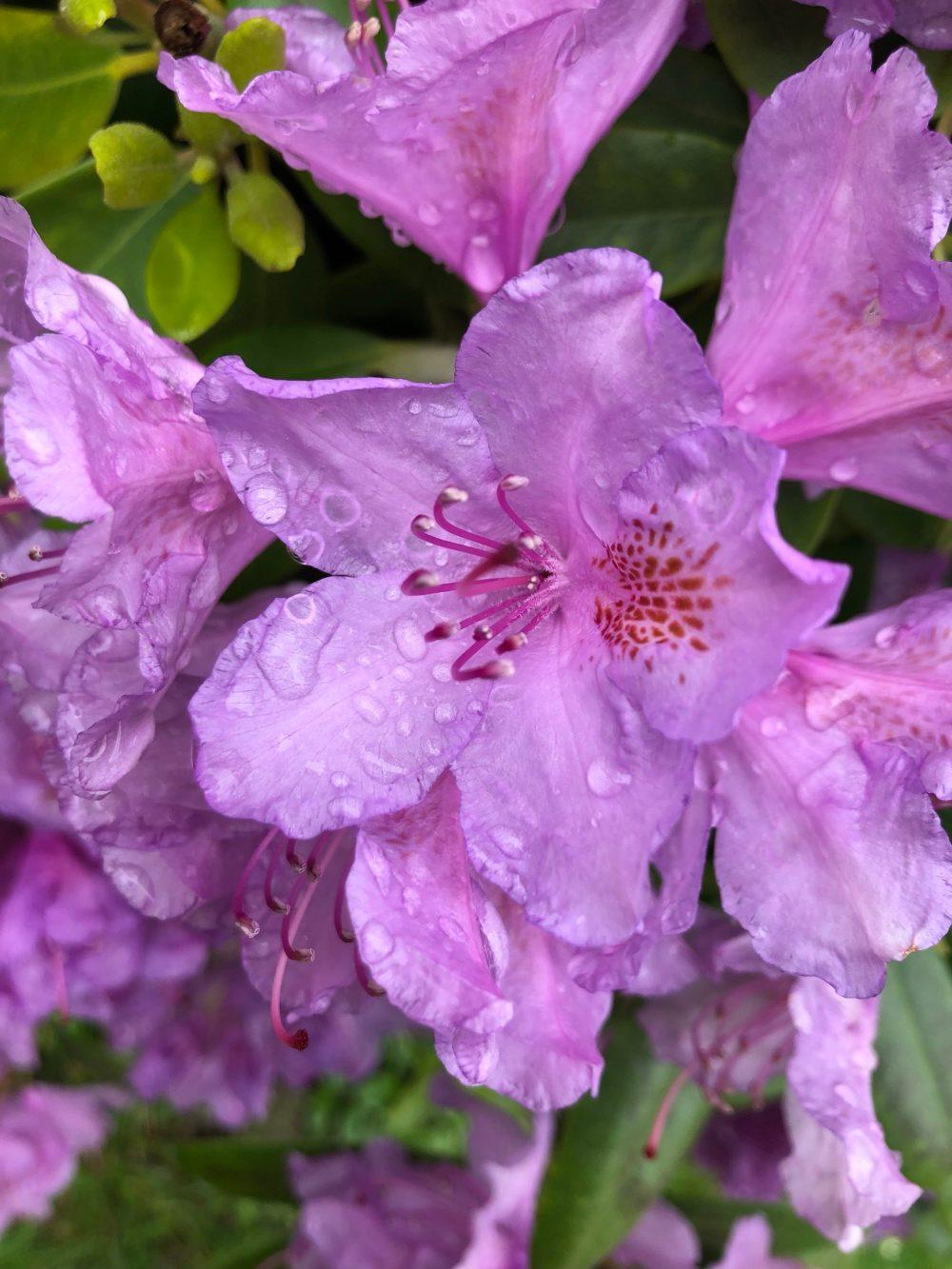 Rhododendron mit vielen Wassertropfen in der Welt der Wassertropfen